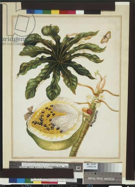 A branch of the pawpaw tree, plate 40 from 'Metamorphosis Insectorum Surinamensium', 1699-1701 (w/c on paper)