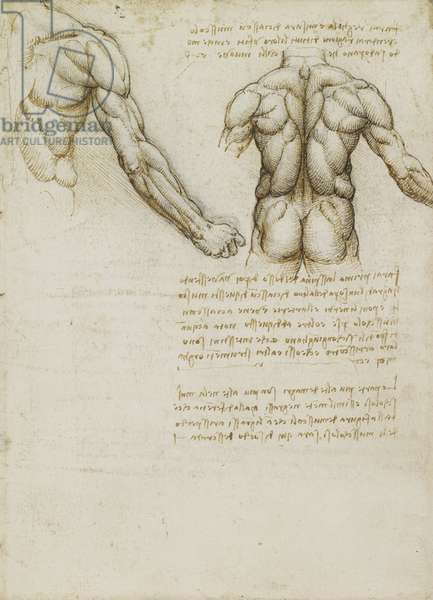 Recto: The muscles of the back and arm, c.1508 (pen & ink over chalk on paper)