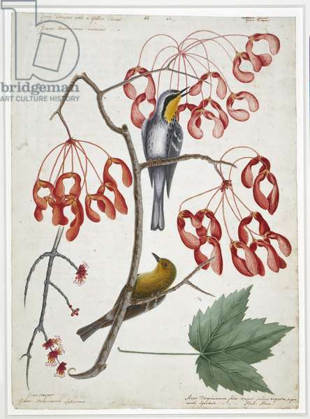 Yellow-throated warbler, pine warbler and red maple, c.1722-26 (w/c & bodycolour over pen & ink on paper)