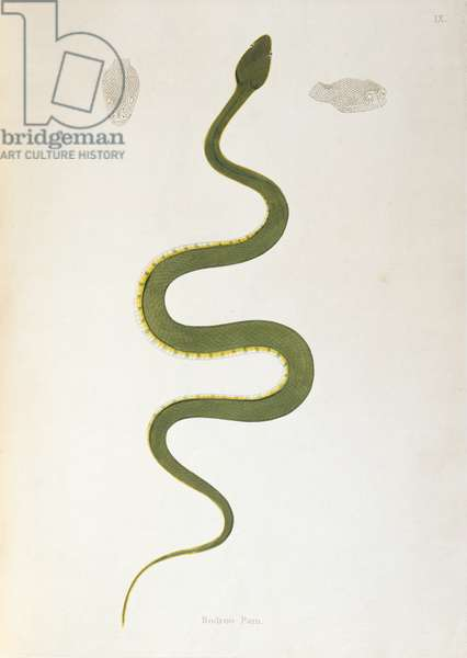Bodroo Pam Snake from 'An Account of Indian Serpents collected from the Coast of Coromandel' by Patrick Russell, London, 1796 (engraving)