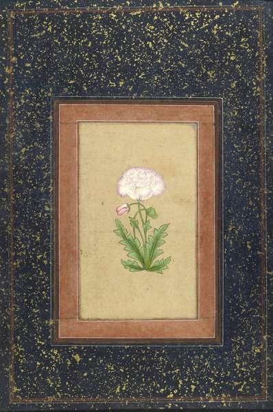 Double poppy, Delhi, c.1880-1900 (bodycolour on card) (verso of 447411)