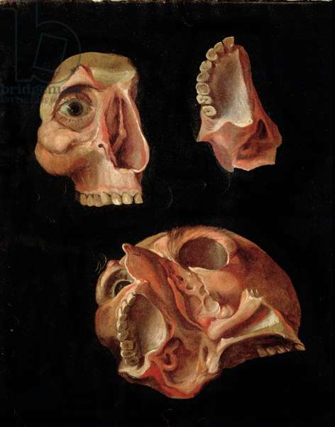 Anatomical drawing showing the bones of the cranium (oil on panel)