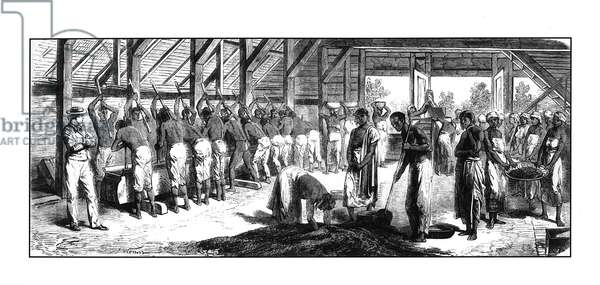 Black slaves grinding coffee in Surinam, mid-19th century (engraving) (b/w photo)