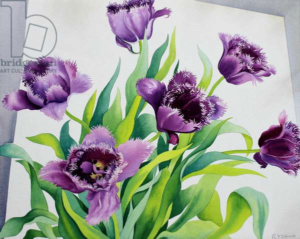 Purple Fringe Tulips (watercolour on paper)