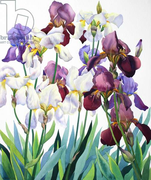 White and Purple Irises