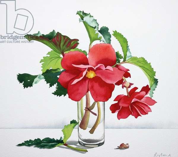 Red Begonia