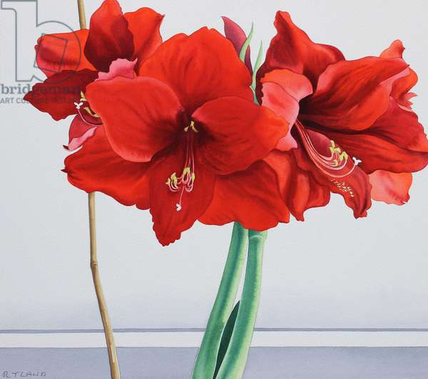 Red Amaryllis (watercolour on paper)