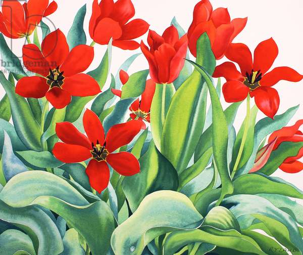 Madame Lefeber Tulips (watercolour on paper)