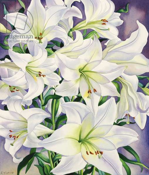 White Lilies, 2008 (w/c on paper)