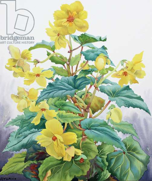 Yellow Begonia 2
