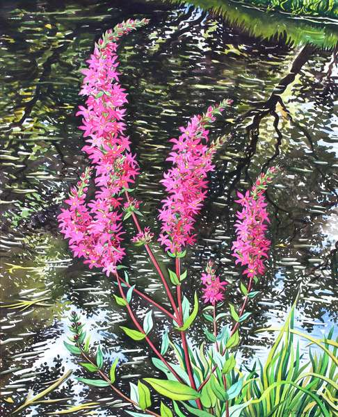 Wild Loosestrife (watercolour on paper)