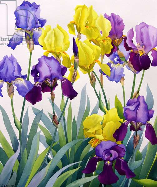 Yellow and Purple Irises (watercolour on paper)