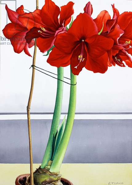 Red Amaryllis 2 (watercolour on paper)