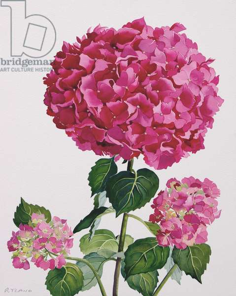 Hydrangea (watercolour on paper)