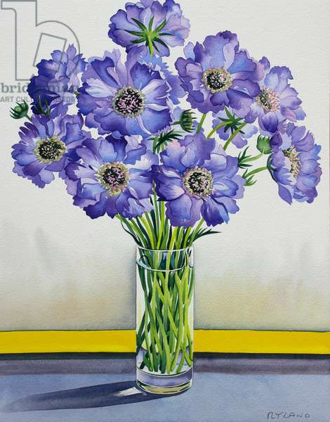 Scabious with Yellow Band (watercolour on paper)