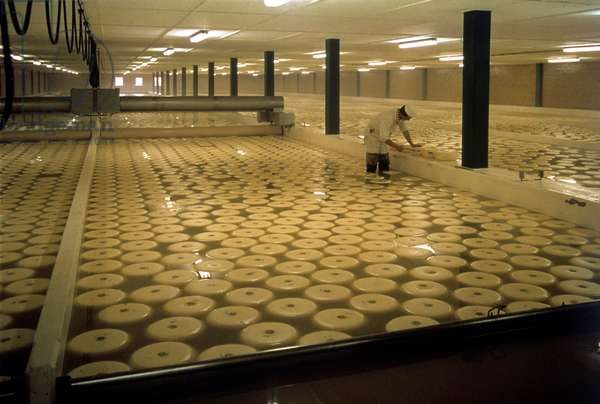 Cheese production: A man checking cheeses in the dairy, the Netherlands 1975-90