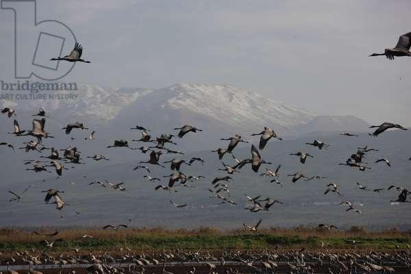 Large group of cranes, Hula Park, Israel photo)