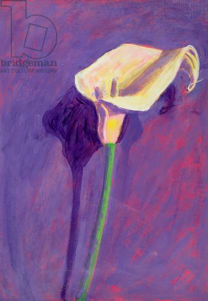 Arum Lily (oil on card)