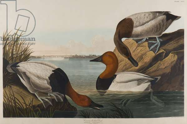 Canvas Backed Duck, 1836 (w/c on paper)