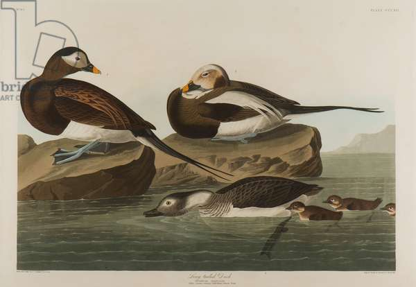 Long-Tailed Duck, 1836 (w/c on paper)