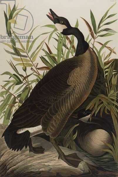Canada Goose, 1827-1838 (w/c on paper)