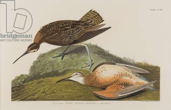 Esquimax Curlew, 1834 (w/c on paper)