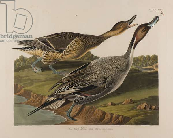 Pin Tailed Duck, 1834 (w/c on paper)
