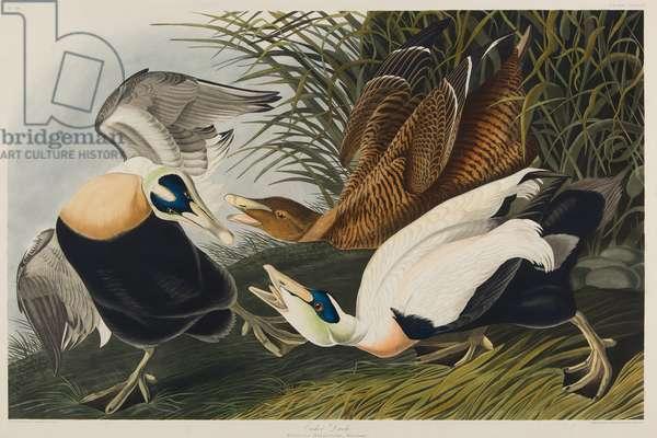 Eider Duck, 1835 (w/c on paper)