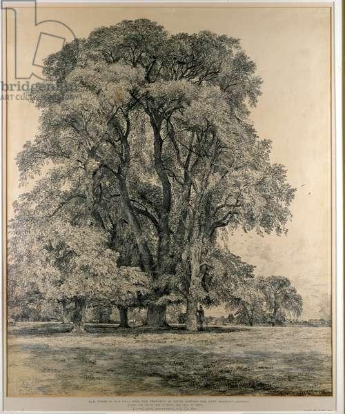 Elm trees in Old Hall Park, East Bergholt, 1817 (pencil)