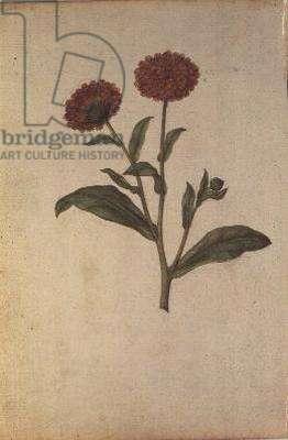 Calendula officinalis, c.1568