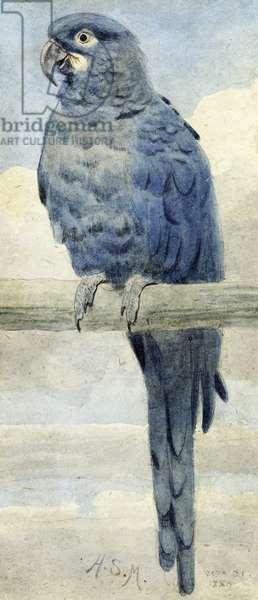 Hyacinthine Macaw, 1889 (w/c on paper)