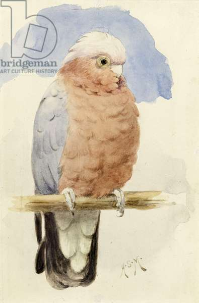 A Rose Breasted Cockatoo, c.1890 (w/c on paper)