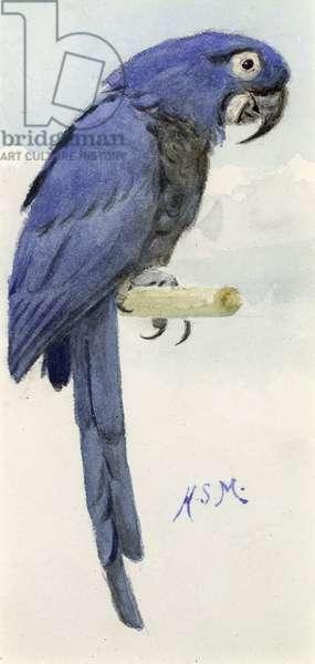 Hyacinth Macaw, c.1890 (w/c on paper)