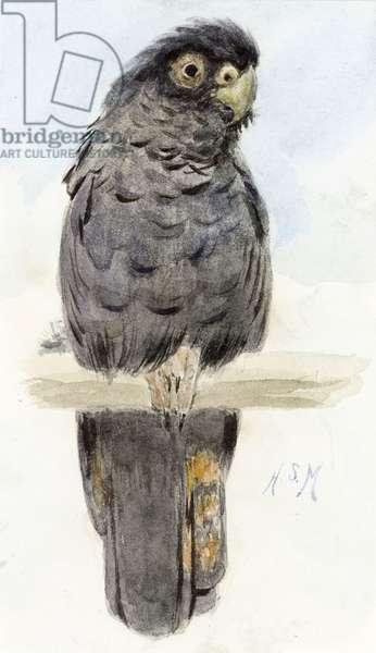 A Black Cockatoo, c.1890 (w/c on paper)