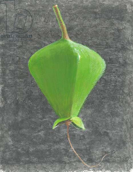 Barringtonia Acutangula (acrylic on paper)