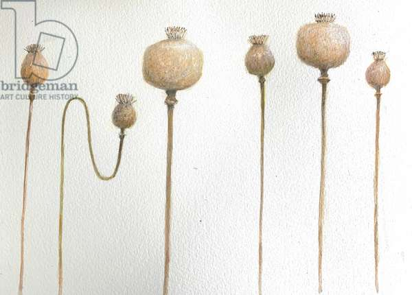 Dried Poppies