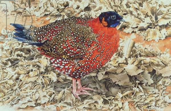 Satyra Tragopan, 1989 (gouache on paper)