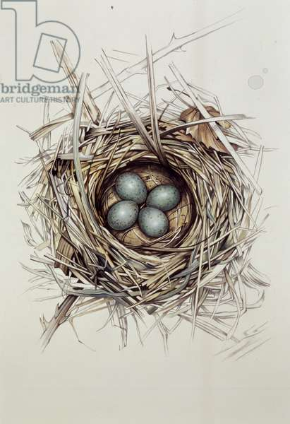 Turdus Merula (Blackbird), 1999 (gouache and pencil on paper)