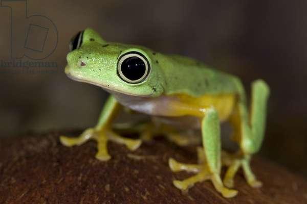 Lemur frog (photo)