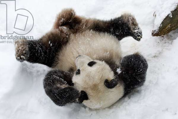 Panda in the snow (photo)