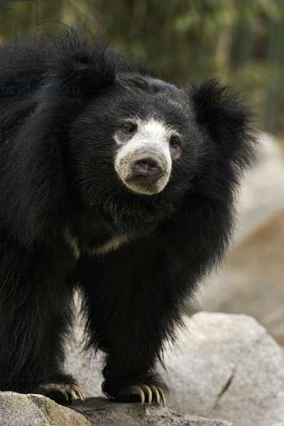 Sloth bear (photo)