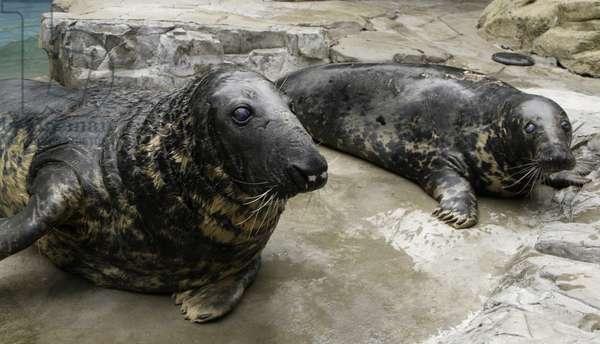 Gunnar and Selkie, gray seals (photo)