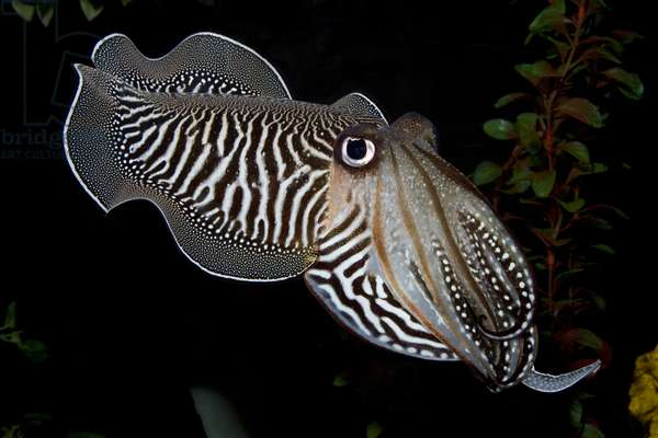 Common cuttlefish (photo)
