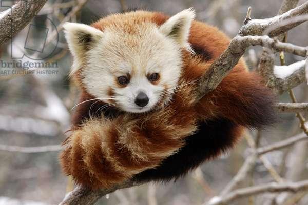 Red panda (photo)