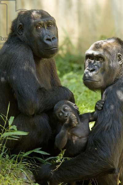 Three gorillas (photo)
