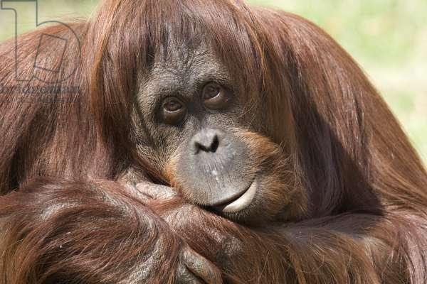 Iris, female orangutan (photo)