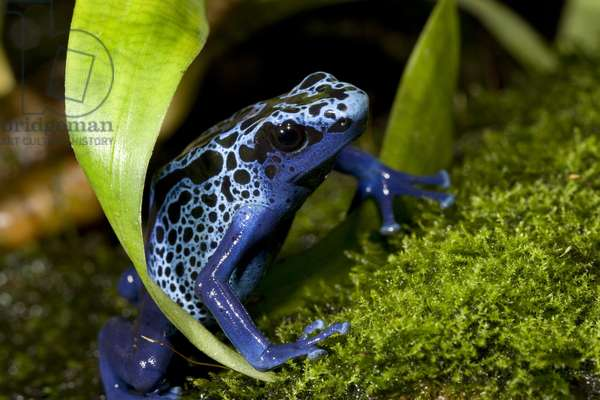 Blue poison dart frog (photo)