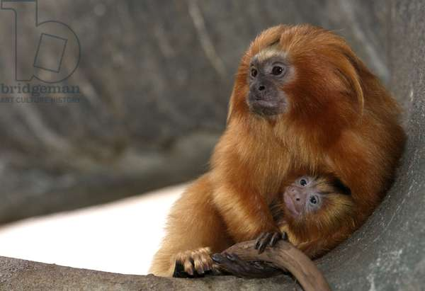 Golden Lion Tamarin mother and baby (photo)