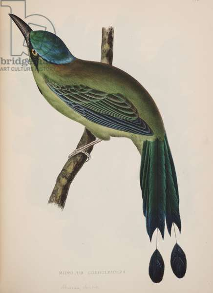Momotus Coeruleiceps, from The Birds of North America, Philadelphia, J.B. Lippincott & Co., 1860 (colour litho)