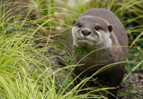 Asian small-clawed otter (photo)